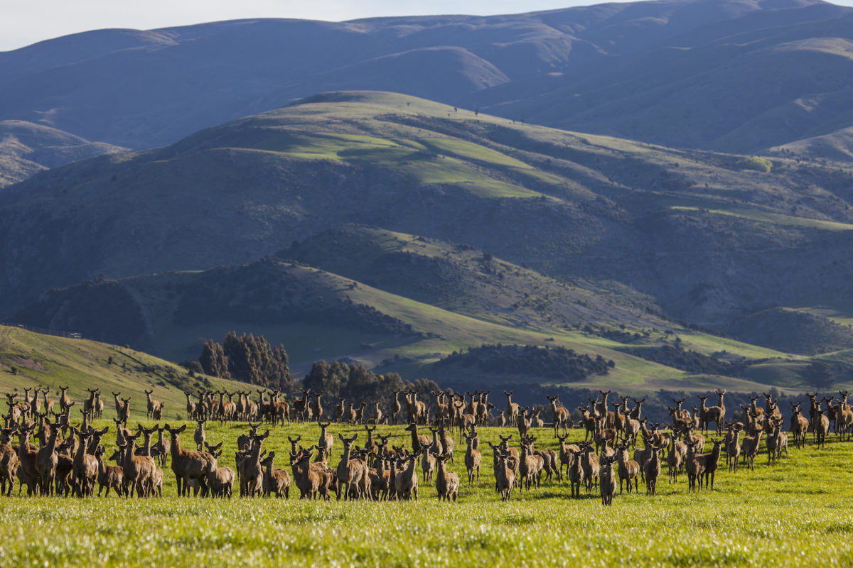 Deer farming Criffel Station NZ